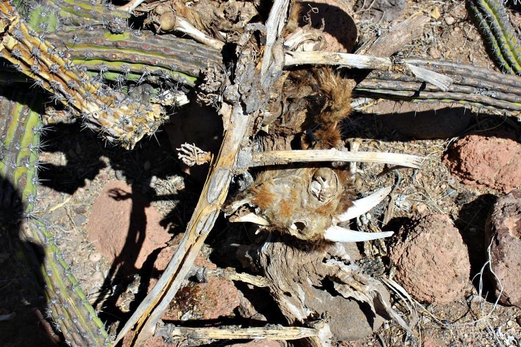 Esta chiva murió prensada entre un cactus al buscar alimento